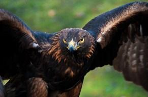 Adler sollen fliegen!