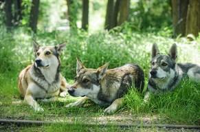 Um die Wette heulen mit dem Wolfshund!