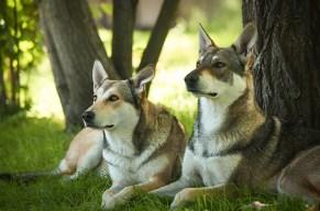 Gassi gehen war gestern, heute steht Wolfshund Trekking an!