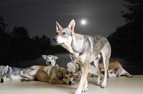 Mit dem Wolfsrudel dem Vollmond entgegen