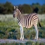 Zebra - Cebra