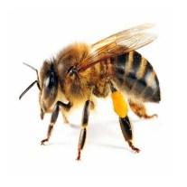 Bee - Abeja