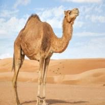 Camel - Camello
