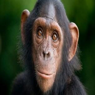 Chimpanzee - Chimpancé