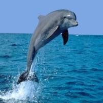 Dolphin - Delfín