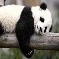 Panda - Oso Panda