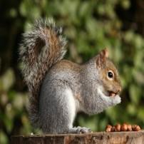 Squirrel - Ardilla