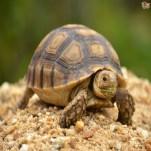 Turttle/Tortoise - Tortuga