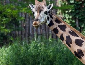 Giraffeneu