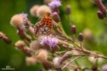 Schmetterling, Marienkäfer, Biene220718_019