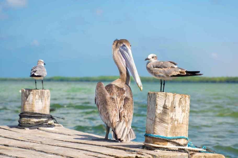 Pelikane in Rio Lagartos