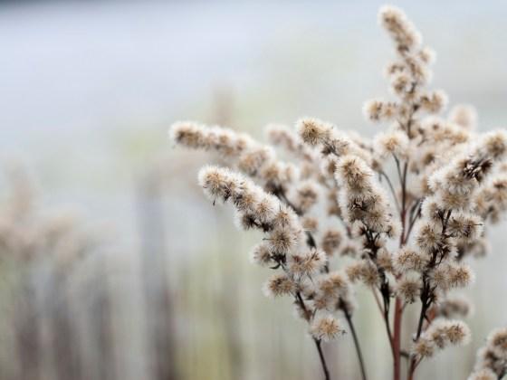 Verblühte Blüte einer Goldrute im Dezember, die nun Samen gebildet hat.