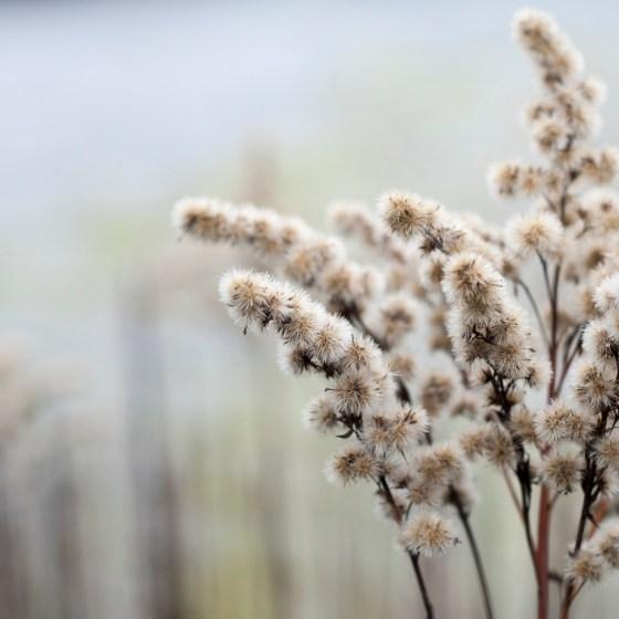 Verblühte Blüte einer Goldrute im Dezember, die nun Samen gebildet hat
