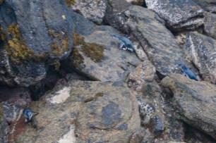 Pinguine am Hafen von Stewart Island