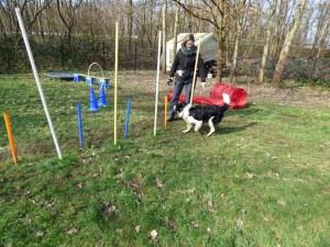 Parcour Hund läuft durch Stangen