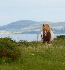 Ponny at Beara