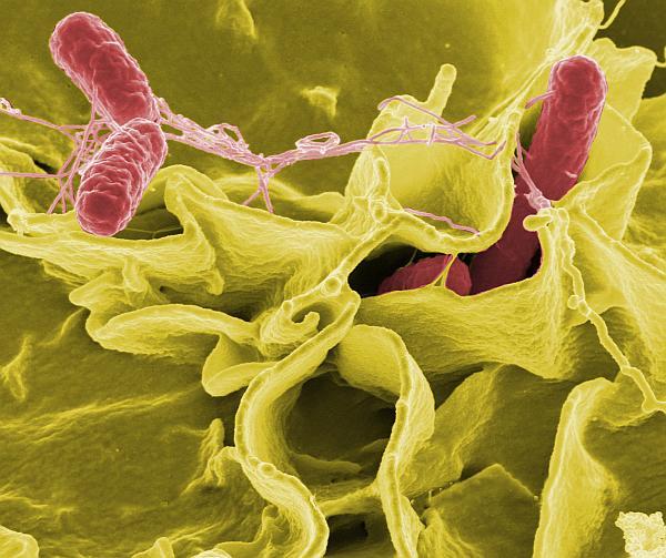 Salmonellen (rot eingefärbt) greifen eine menschliche Zelle an