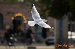 Black-headed gull (Chroicocephalus ridibundus) - Copenhagen