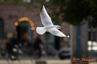 Black-headed gull (Chroicocephalus ridibundus) - Copenhagen