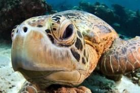 Hawksbill Turtle in Sipadan