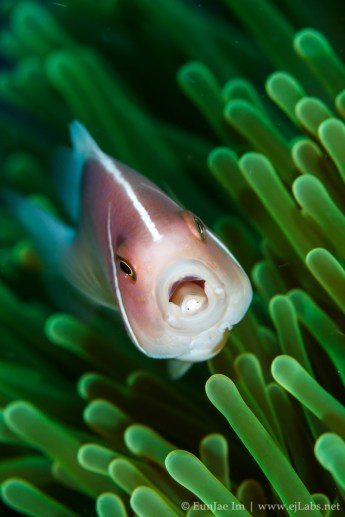 Pink anemonefish with parasite (Cymothoa) in its mouth.