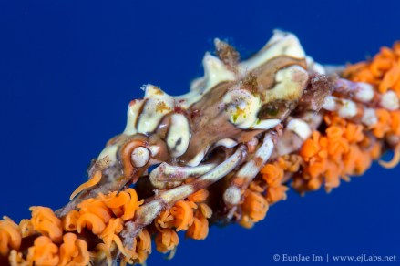 Lembeh strait, wire coral crab: Xenocarcinus tuberculatus