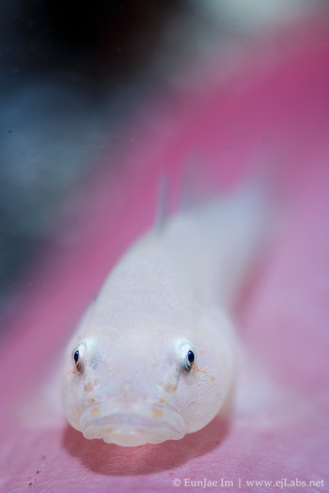 soft coral ghostgoby on soft coral