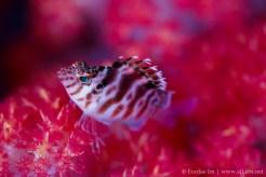 threadfin hawkfish resting on soft coral
