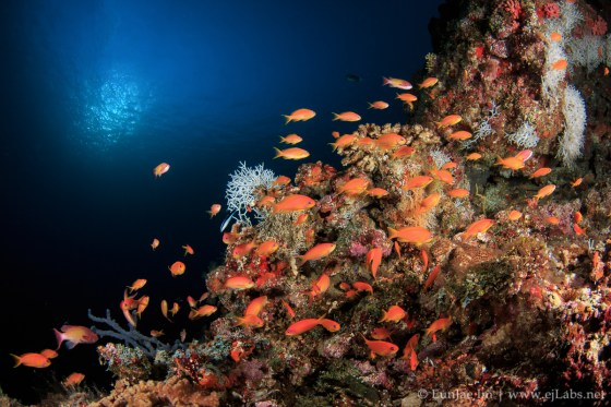 Anthias, Southern Maldives