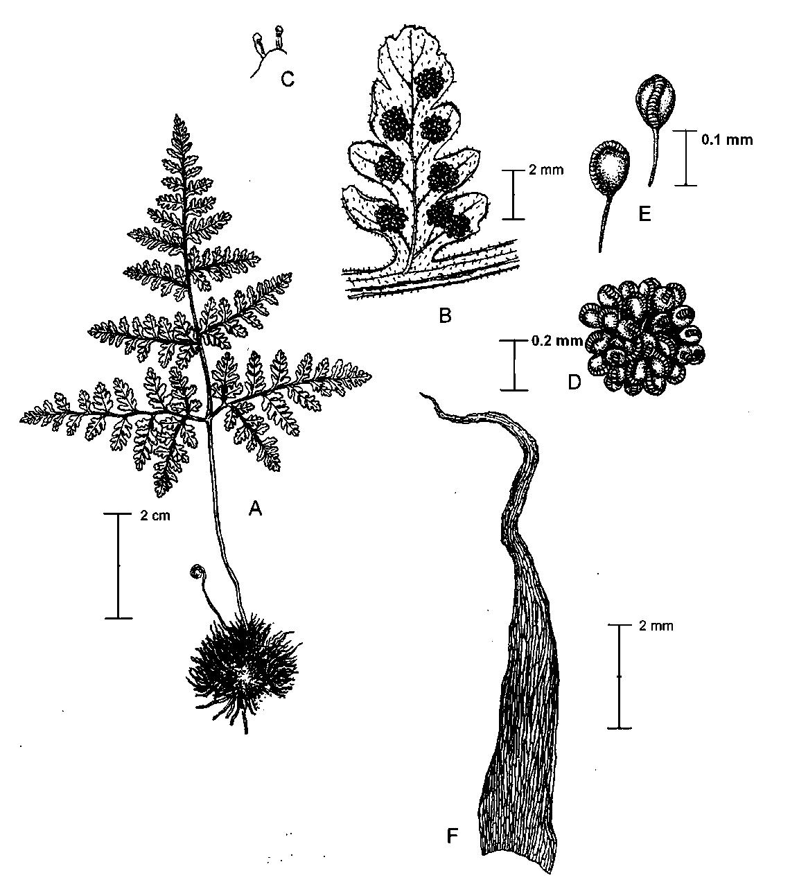 Wang Et Al Two New Species Of Hypodematium