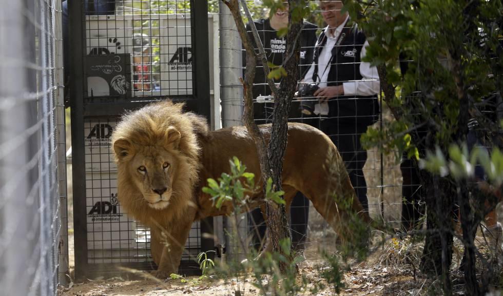 Uno de los leones que jamás había pisado la naturaleza, tras ser liberado.