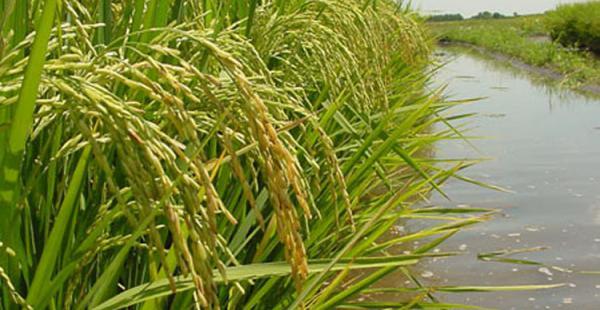 La producción de arroz inundado en parcelas demostrativas en La Paz se incrementó en un 100%.