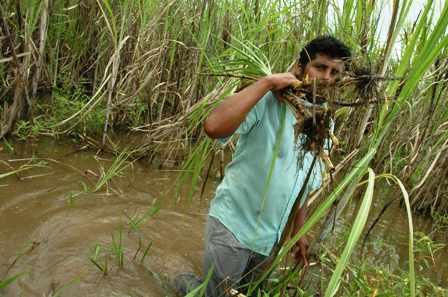 El-99%-de-cultivos-de-cana-se-encuentran-bajo-el-agua