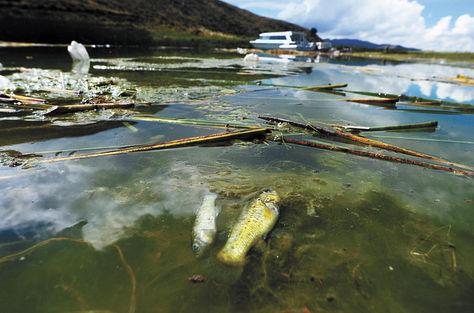 Peces (karachis)  sin vida por efecto  de la contaminación del Lago Menor del Titicaca, en el sector de la  isla de Qhehuaya.