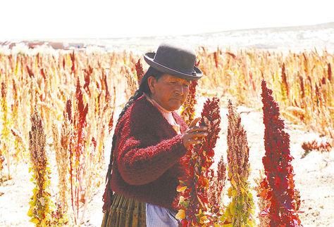 Altiplano. Una productora de quinua de Oruro controla el crecimiento del cereal en su parcela.