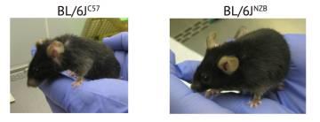 A la derecha, el ratón con el genoma mitocondrial