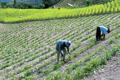 La Paz. Dos productores de coca trabajan en su cultivo ubicado en Sud Yungas. El producto sale al mercado de Adepcoca. Foto: Archivo