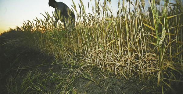 En Pailón Sur los efectos de la sequía en el cultivo de trigo son evidentes. Las plantas no se desarrollaron