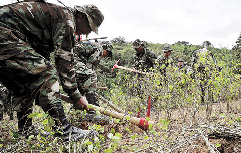 Reducción. Efectivos del Comando Estratégico Operacional (CEO) erradican coca en el norte de La Paz.