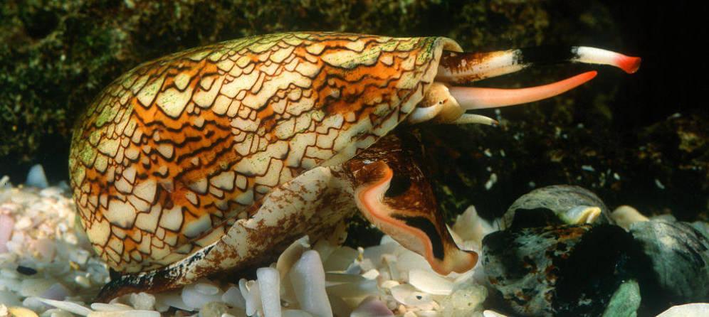 Foto: El caracol cono, conocido como
