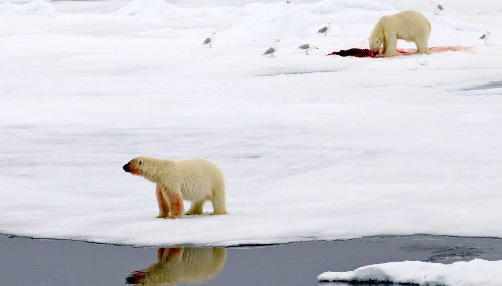 Dos osos polares en una isla de hielo en el Ártico.