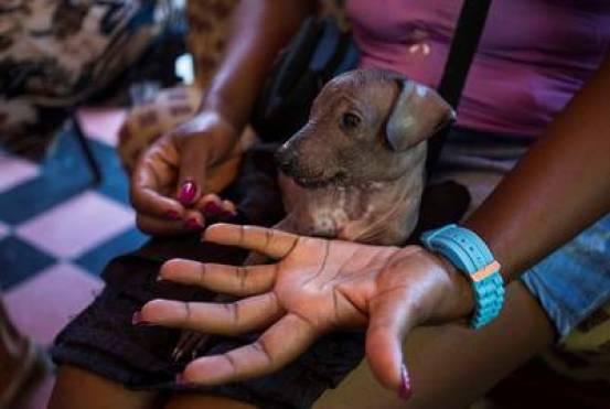 Yanet Torres muestra en La Habana a su exótico Xoloitzcuintle, una raza mexicana de perros sin pelo. / AP