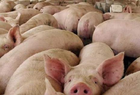 En 2015 la piara en Santa Cruz era de 37.000 madres. En diciembre estiman sacar al mercado 60.000 cerdos para garantizar las fiestas de fin de año