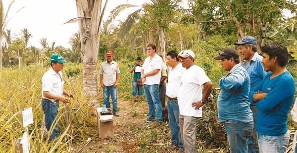 Los técnicos del CIAT en el día de demostración en cultivos de piña