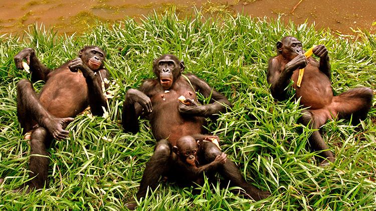 Cuatro bonobos en los alrededores de Kinsasa, la capital de la República Democrática del Congo
