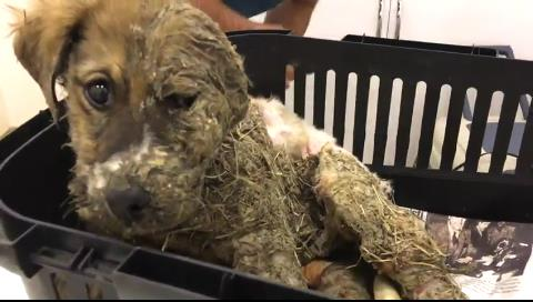 La asombrosa recuperación de Pascal, un cachorro embadurnado en pegamento y barro