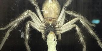 Mientras tanto en Australia: una araña gigante devora a un lagarto