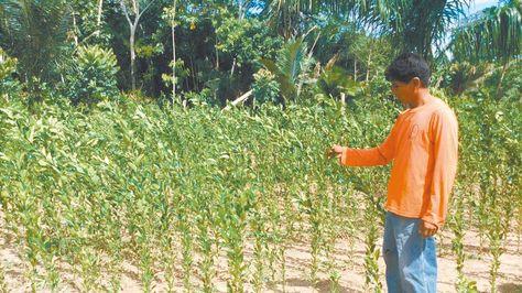 Ingresos. Los plantines de naranja son la esperanza de mejores días para los comunarios de Altamarani.