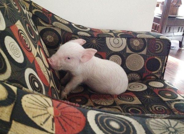 Esther era un pequeño cerdo de 5 semanas cuando llegó a su hogar de adopción