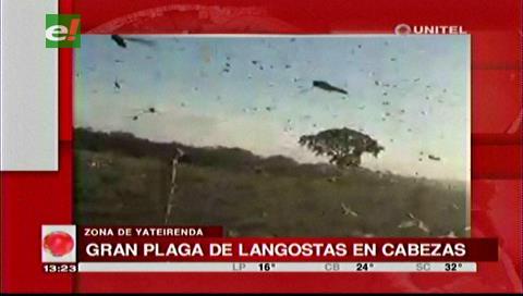 Plaga de langostas atacó cultivos en Cabezas